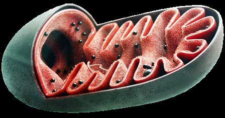 mitochondrien aufbauen